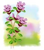 Flowers thyme. Illustration on fullcolor background Stock Illustration