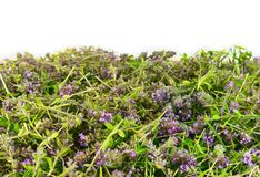 Flowers of thyme in nature. The thyme is commonly used in cookery and in herbal medicine. Royalty Free Stock Photo