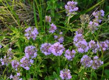 Flowers of thyme in nature. The thyme is commonly used in cookery and in herbal medicine. Stock Image