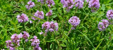 Thyme tea on a wooden table. Flowers of thyme in nature. The thyme is commonly used in cookery and in herbal medicine. Flowers of thyme in nature. The thyme is royalty free stock images