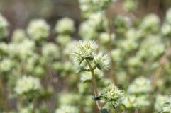Flowers of Thymus mastichina Royalty Free Stock Image
