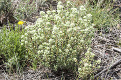Flowers of Thymus mastichina. It is endemic to the central Iberian Peninsula in Spain. Photo taken in Guadarrama Mountains, La Cabrera, Madrid, Spain Stock Photo