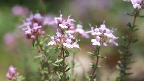 Flowers of Thymus vulgaris stock video