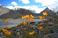 Flowers in Tien Shan Mountains, Kyrgyzstan Stock Image