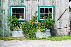 Flowers in a tin tub. Flowers growing in a big tin tub outside a rustic wooden barn with windows Royalty Free Stock Photography