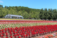 flowers of the Tomita farm in Hokkaido with some tourists on background. Royalty Free Stock Photography