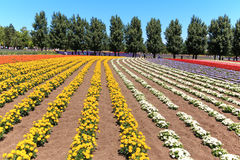 Flowers of the Tomita farm in Hokkaido with some tourists on background. Royalty Free Stock Photo