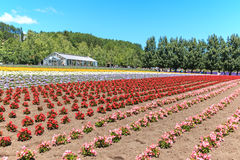 Flowers of the Tomita farm in Hokkaido with some tourists on background. Stock Photo