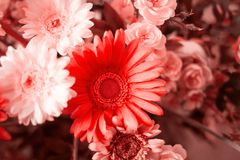 Flowers toned in living coral. Close up flowers toned in living coral stock images