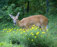 These flowers are tough. Whitetail deer that's having trouble chewing stock photos