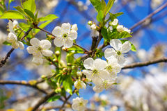 Flowers on the tree. Stock Photo