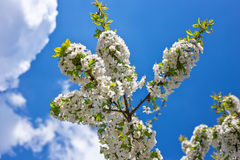 Flowers on the tree. Stock Image