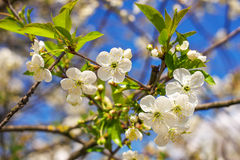 Flowers of tree Royalty Free Stock Image