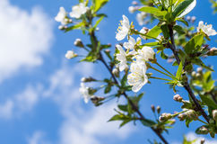 Flowers on the tree branch in blue sky. White flowers on the branch in spring Stock Photo
