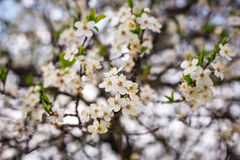 Flowers on the tree. Stock Photography