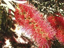 Flowers shrub of callistermon  Royalty Free Stock Photo