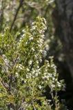 Flowers of Tree heath, Erica arborea Royalty Free Stock Photos