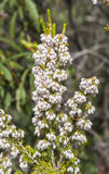 Flowers of Tree Heath, Erica arborea Stock Photography