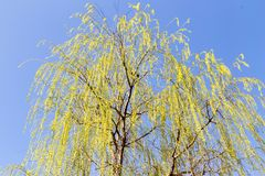 Flowers on the tree in nature willow.  royalty free stock photo