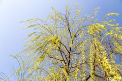 Flowers on the tree in nature willow.  stock image