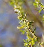 Flowers on the tree in nature willow.  stock photo