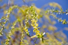 Flowers on the tree in nature willow.  royalty free stock images