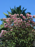 Flowers. A tree with small pink flowers stock image