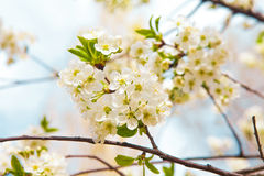 Flowers of tree in spring Stock Image