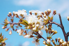 Flowers of tree in spring Royalty Free Stock Photos