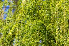 Flowers on the tree spring willow. In the park in nature royalty free stock photos