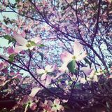 Dogwood blooming trees in the spring pink and white flowers on trees royalty free stock images