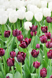 Flowers, trees, spring, summer, bright, purple, red, color, travel, Europe, Amsterdam, green, tulips, purple, white Royalty Free Stock Photography