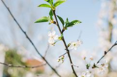 Flowers On Trees Royalty Free Stock Photography