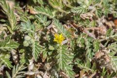 Flowers of Tribulus terrestris Stock Photography