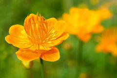 Flowers Trollius Royalty Free Stock Photo