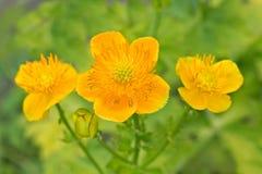 Flowers Trollius Royalty Free Stock Photography