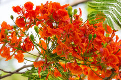 Flowers of Tropical Flame Tree Royalty Free Stock Images