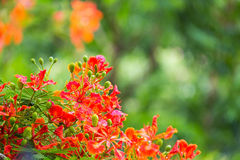 Flowers of Tropical Flame Tree Stock Image