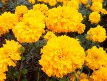 Flowers tropical. Marigold cash crop Stock Photos