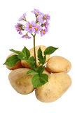 Flowers and tubers Royalty Free Stock Images