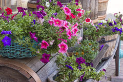 Flowers in tubs on an old cart. Outdoor Flower Arrangement with petunias different colors Stock Photos