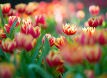 Flowers_tulip Stockbild