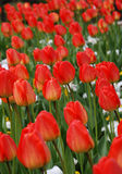 Flowers of tulip among green leaves Royalty Free Stock Photo