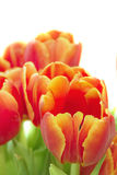 Flowers. Tulip, orange and red color, plants spring, nature, green Stock Image