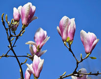 Flowers of the tulip tree Stock Images