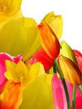 Flowers   tulips Stock Photo