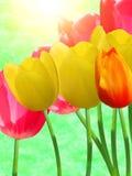 Flowers  tulips Stock Photos