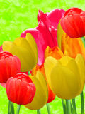 Flowers  tulips Royalty Free Stock Photos