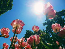 Flowers tulips against the blue sky in the park of Kiev Stock Photo