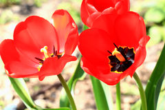 Flowers tulips. Royalty Free Stock Images